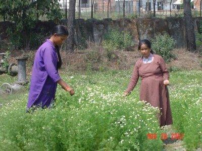 Ladies_picking_chamomile_2