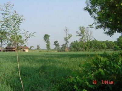 Lemongrass_farm