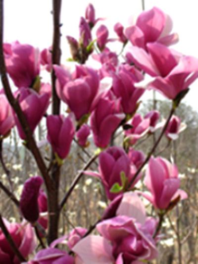Magnolia_flower_4_2